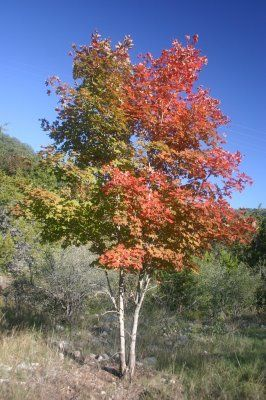 Rocky Mountain Maple Tree Plants Maple Tree Plant