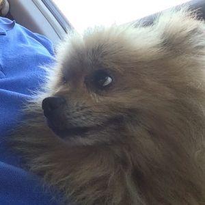 Found Dog Found Pomeranian In West Islip Ny Us 11795 Pomeranian Dog Dogs Pomeranian