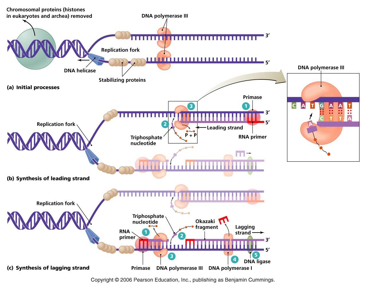 dna replication Teaching biology, Science biology