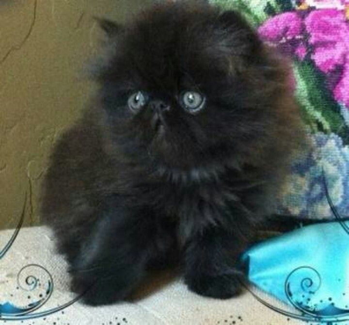 Fluffy Black Kittens With Blue Eyes Fluffy Black Kitten wi...