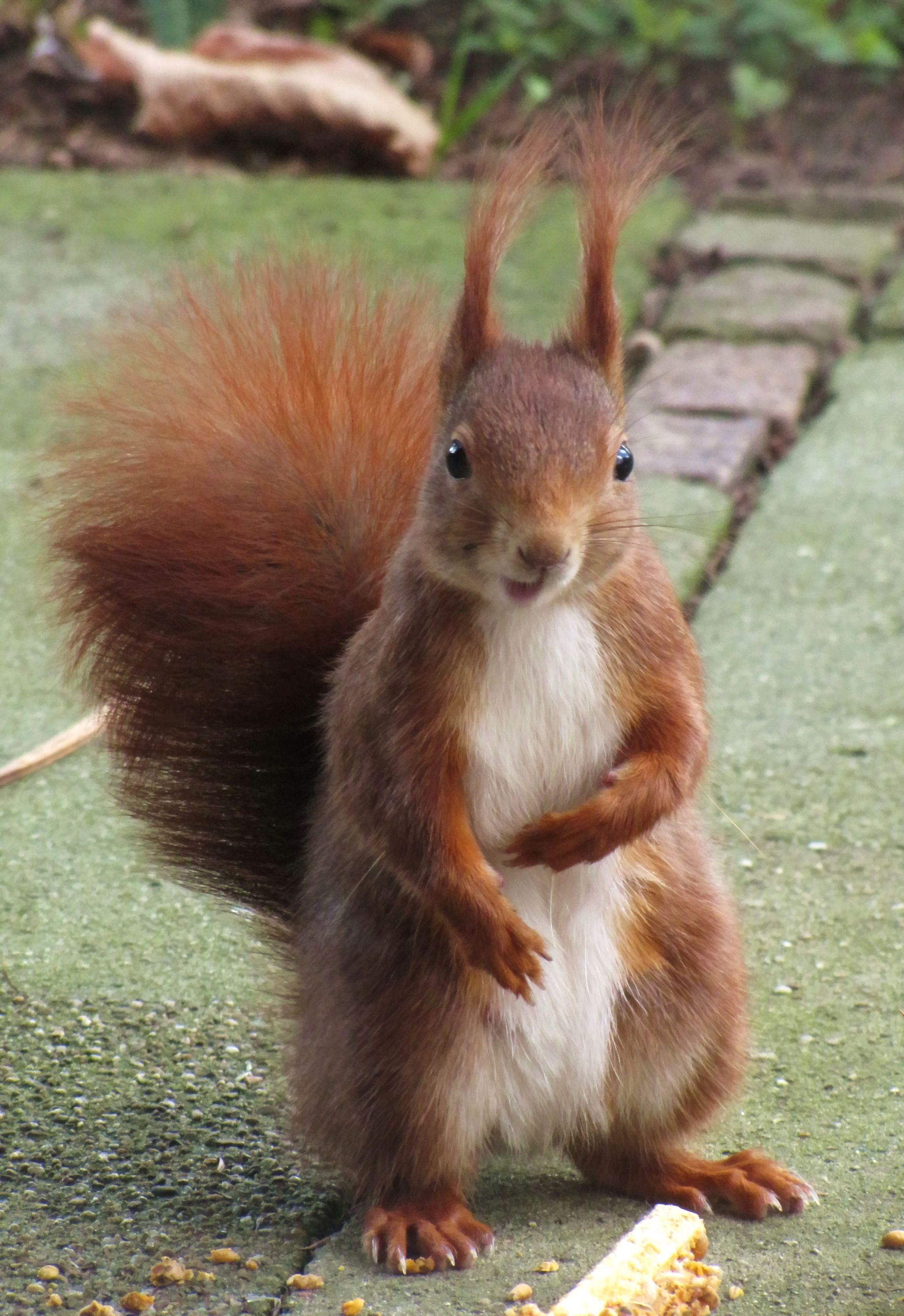 eichhörnchen, eichhörnchen bilder, tiere