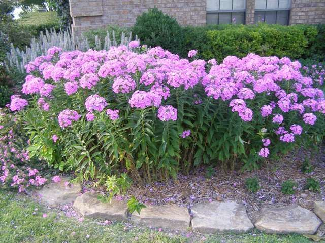 Tall Garden Phlox The Gardens Garden Flower Beds Front Yard