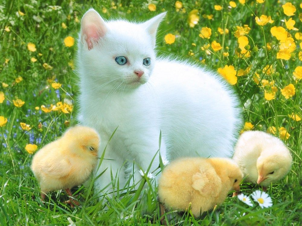 Fluffy Kitten Surrounded By Cute Little Chicks Cute Animals