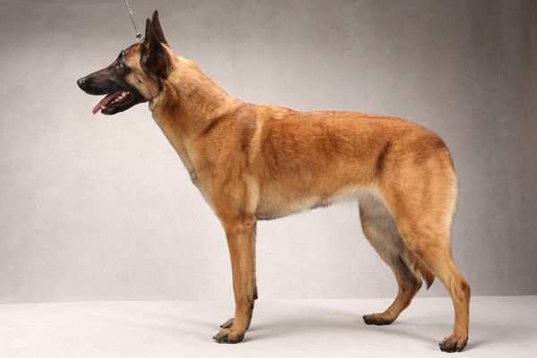 Burr oak malinois