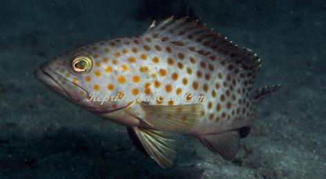 Ikan Kerapu Lumpur   Hobi Mancing   Pinterest   Itu