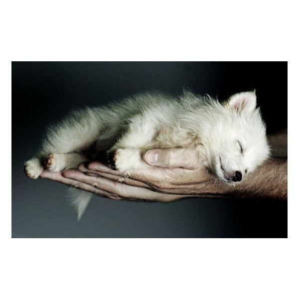 Wolves them Alaskan Malamutes, Samoyed's ❤ liked on Polyvore