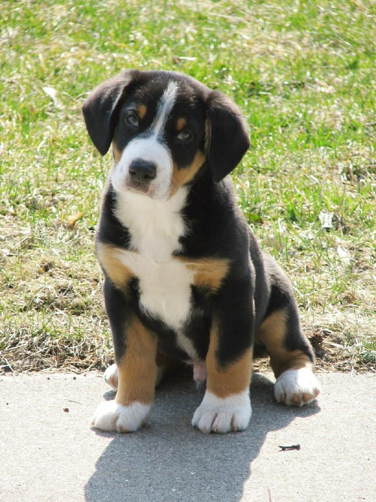 Entlebucher Mountain Dog Wiki Entlebucher Mountain Dog