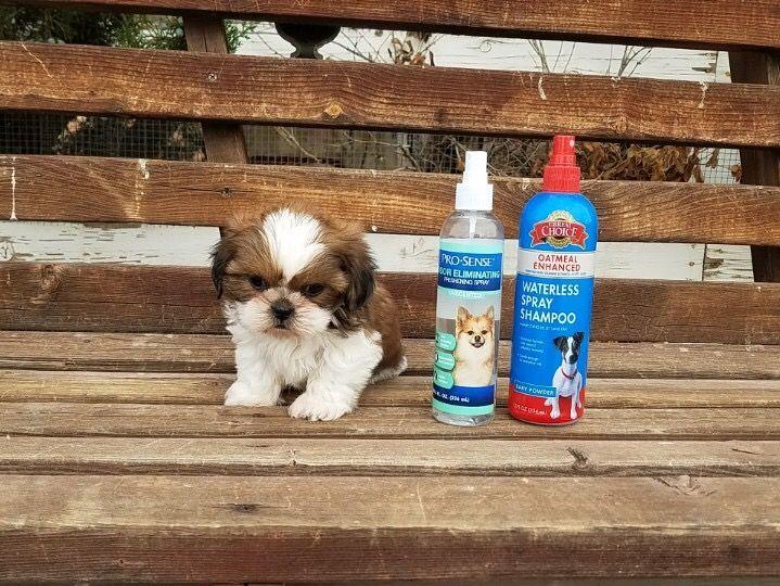 Shih Tzu Puppy For Sale In Los Angeles Ca Adn 52339 On Puppyfinder