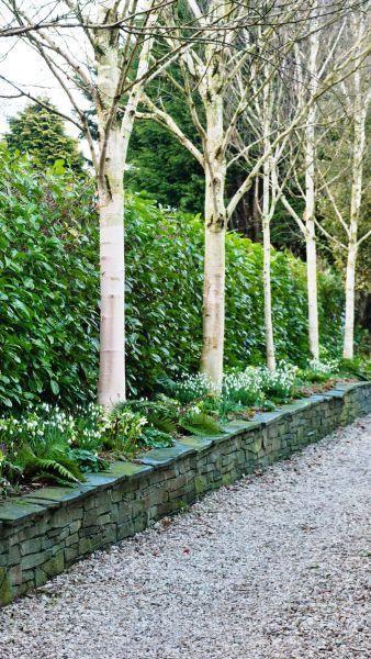 Prunus Laurocerasus Cherry Laurel Garden Trees Garden