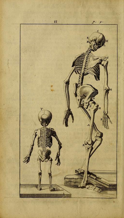 Adultchild Skeleton Comparison Rear View Anatomical Lecture