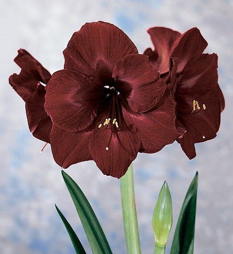 Giant dutch amaryllis black pearl new color 26 28 cm for Amaryllis royal red arrosage