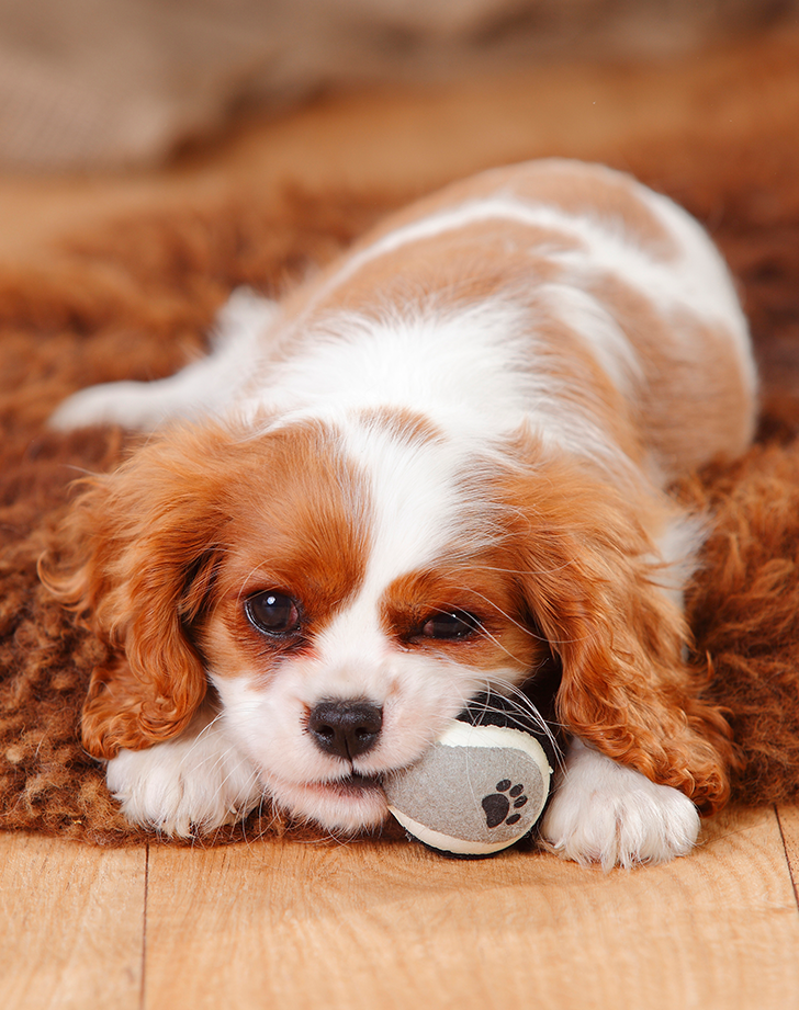The Best Low Maintenance Dogs For People With Super Hectic Lives Tiny Dogs Tiny Dog Breeds Cute Small Dogs