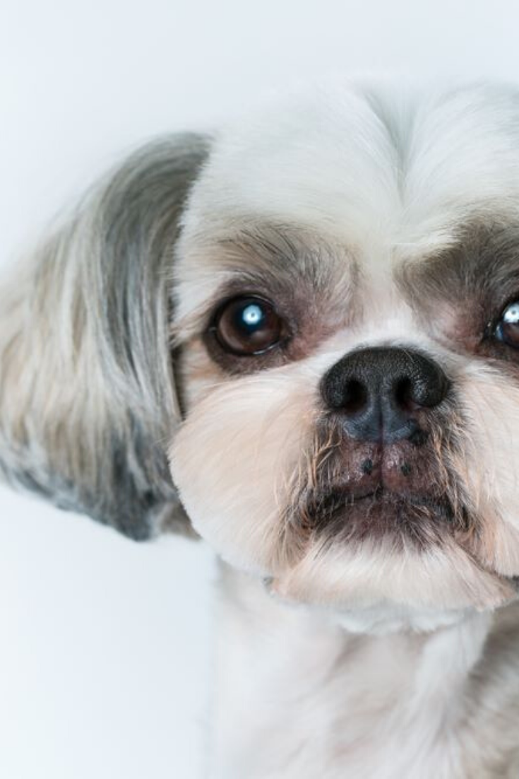 Shih Tzu Dog With Short Hair After Grooming Portrait On Bright White Background Shihtzu Shih Tzu Haircuts Shih Tzu Dog Shih Tzu