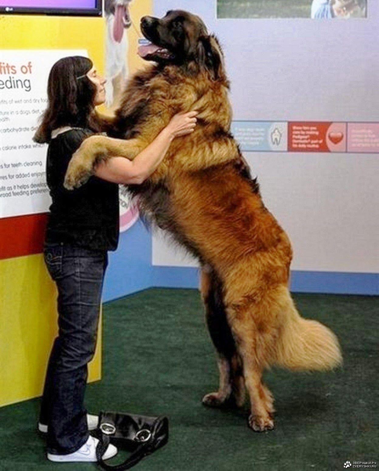 5 Dogs that grew more than expected Самая большая собака