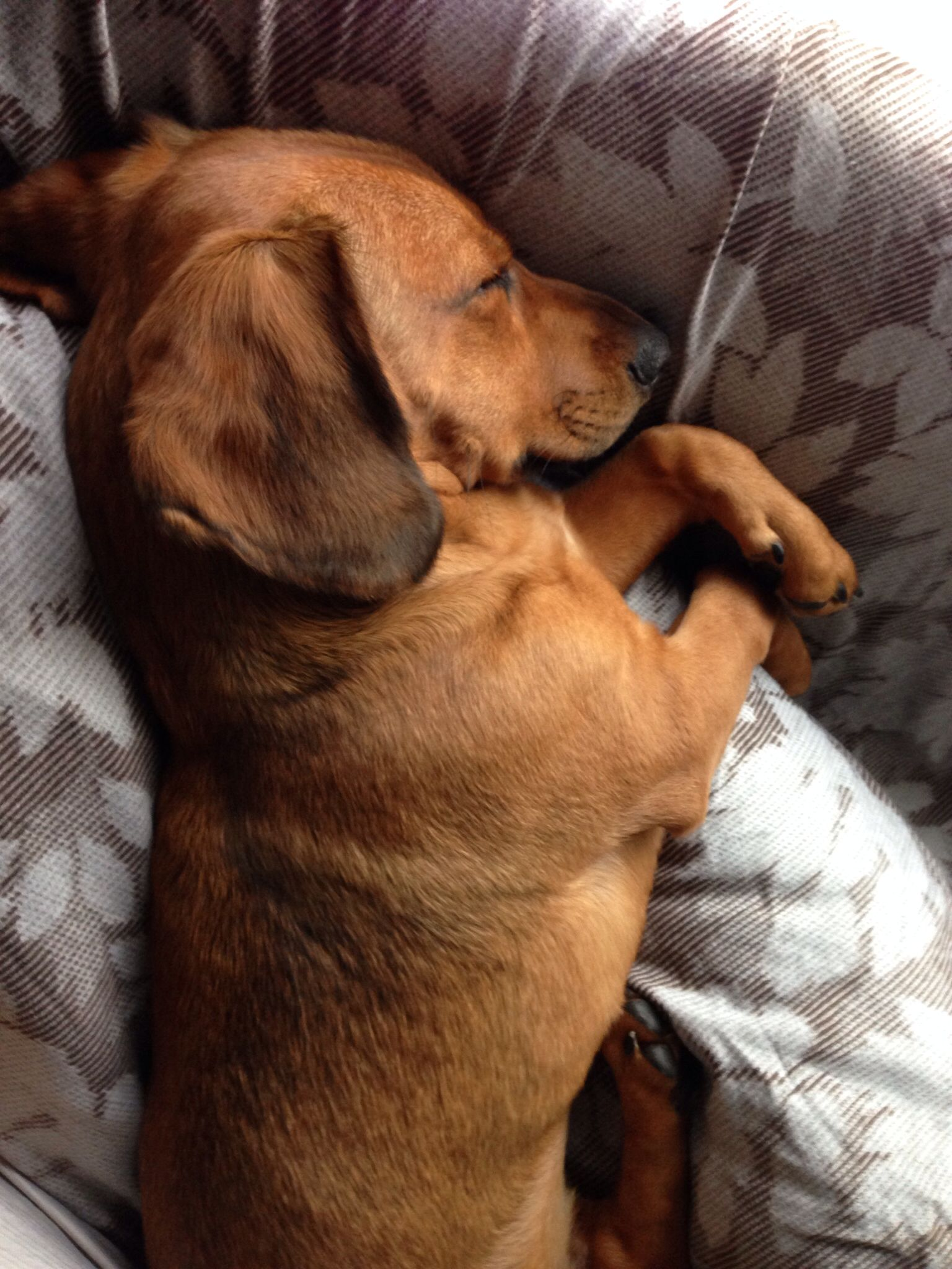Dachshund Beagle Mix Mozart Sleeping Like An Angel Beagle Mix