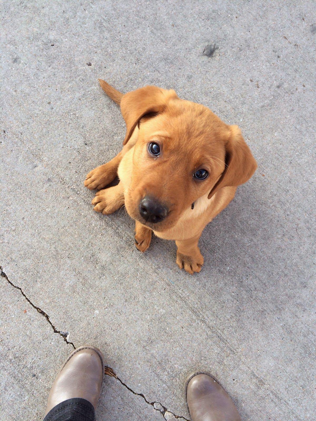 The Burrow We Ve Been Away Red Lab Puppies Golden Retriever Labrador Retriever Puppies