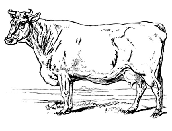 Realistic Drawing Of Cow Coloring Page Kids Play Color Cow Coloring Pages Realistic Drawings Cow Drawing