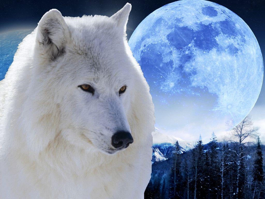 считается картинки белых волков ночью сегодняшний