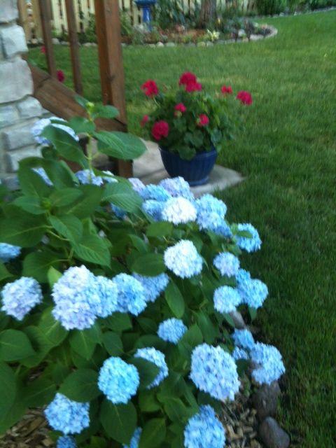 Blue Hydrangea And Hot Pink Geraniums Geraniums Blue Hydrangea Pink Geranium