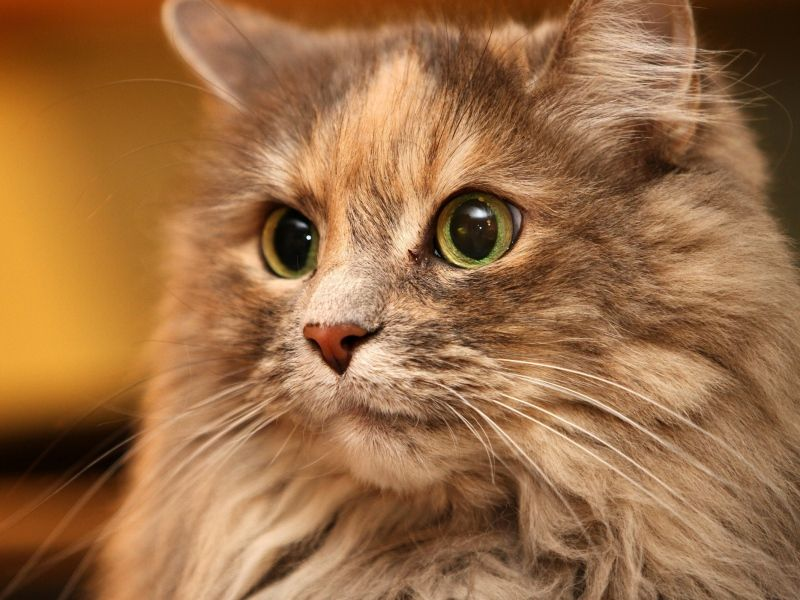 Download Wallpaper 800x600 cat, face, eyes, fluffy Pocket PC, PDA 800x600  HD Background | Cats, Animals, Beautiful cats