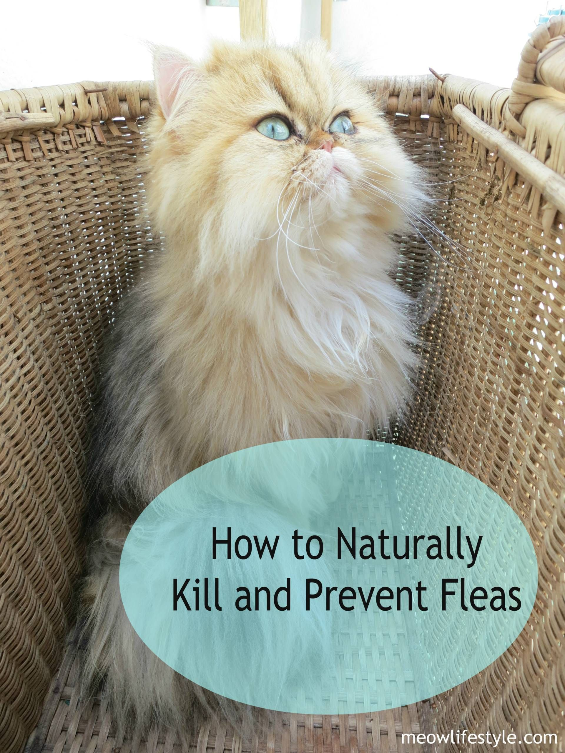 How To Naturally Kill And Prevent Fleas Meow Lifestyle Essential Oils Cats Cat Care Fleas