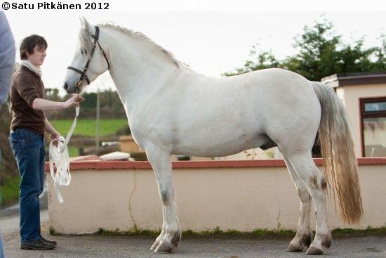 Connemara - stallion Doonhill Playboy