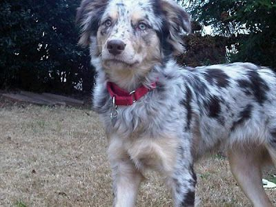 Shepredor Australian Shepherd Lab Mix Lily 8 Months Old Cute Dogs