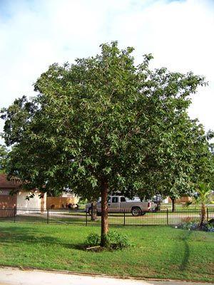 Mexican White Oak (Monterrey Oak) Latin Name: Quercus polymorpha ...