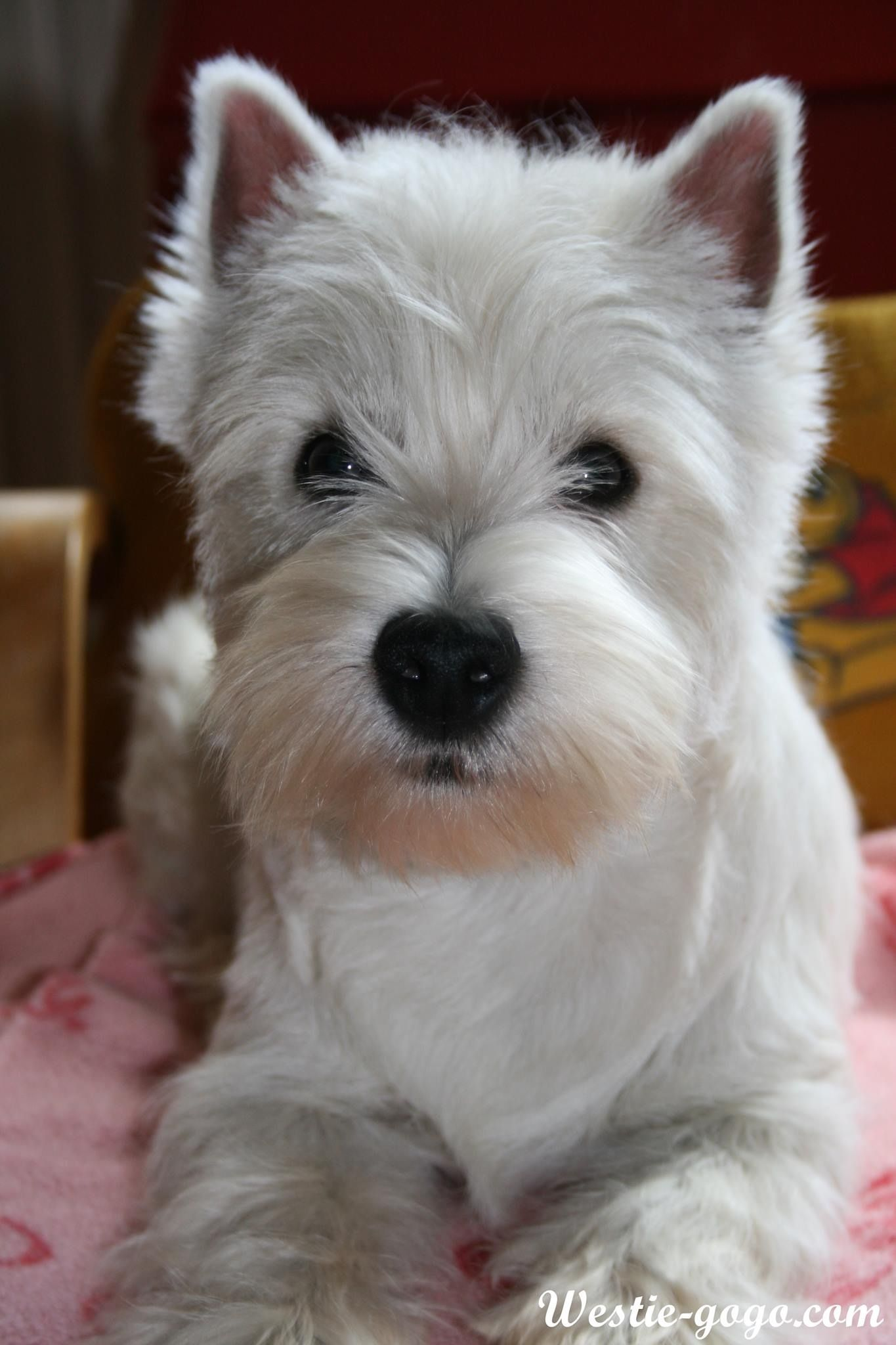 West Highland White Terrier Westie Males Are Bigger Than