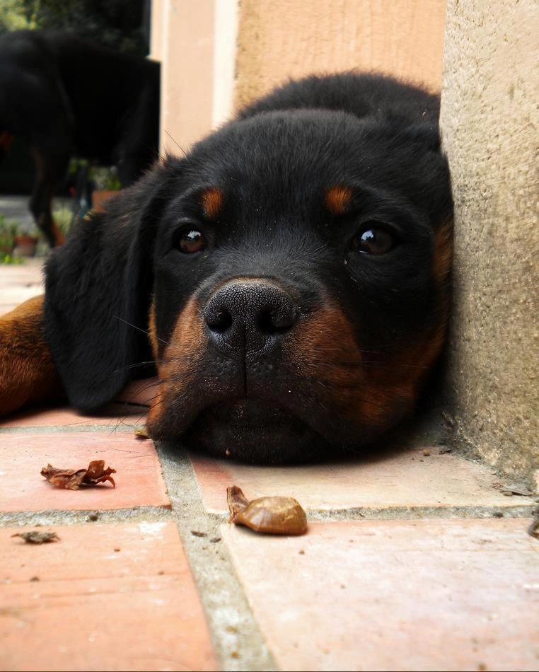 Pin By Gordon Wear Llc On Our Best Friends Rottweiler Dog