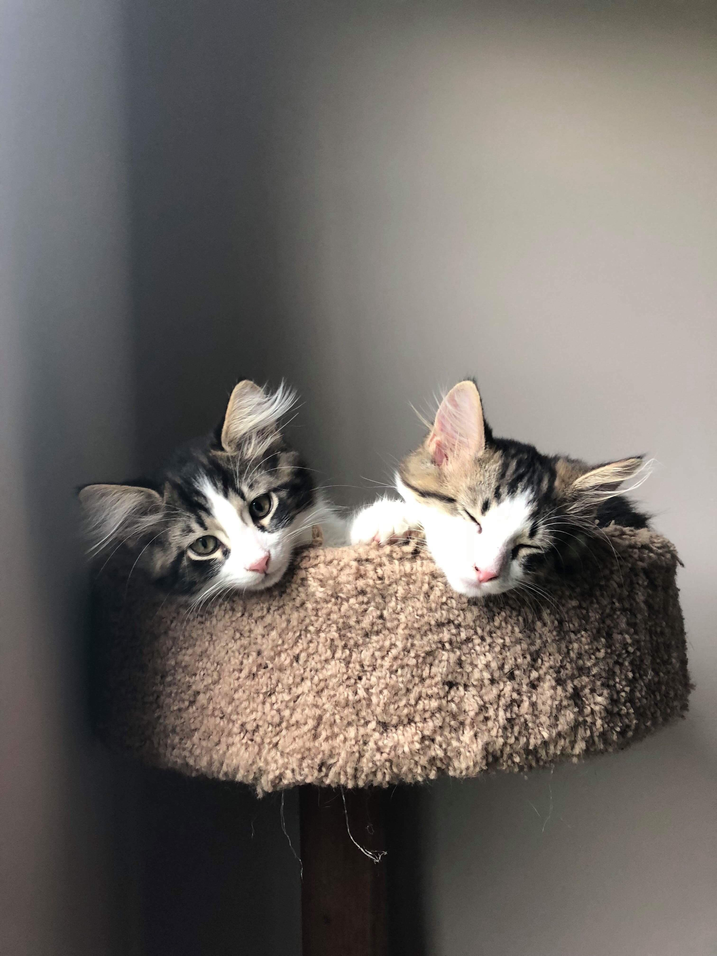Flynn And Chuck Are Finally Old Enough To Reach The Top Of The Cat Tower Really Cute Dogs Cute Cats And Kittens Cats