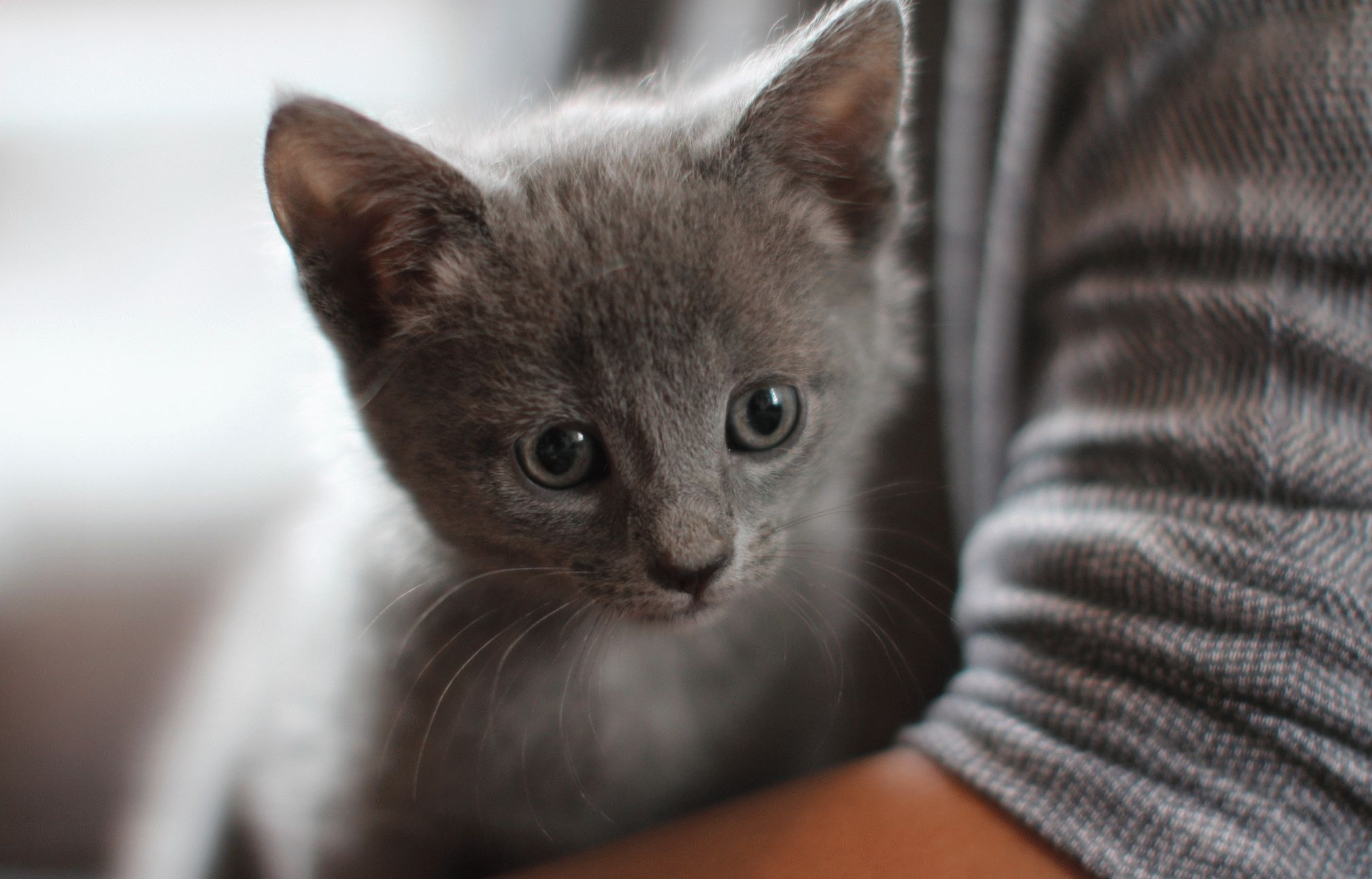 A complete list of the Russian Blue cat breeders in Texas and nearby states! Catteries close to Midland Arlington and Pasadena!