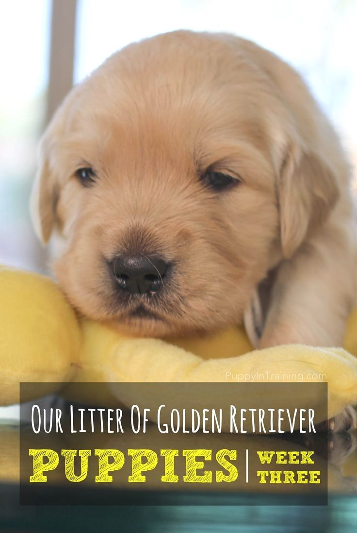 Pin By Dogs On Golden Retriever Pinterest Puppies Pup And Dogs