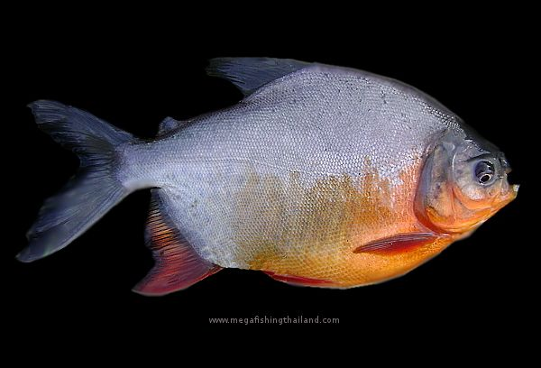 Red bellied pacu colossoma bidens biodiversity for Pacu fish teeth