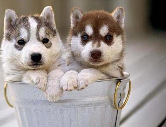 Awwwwweeeee Huskies Pups In A Well Cramped Bucket