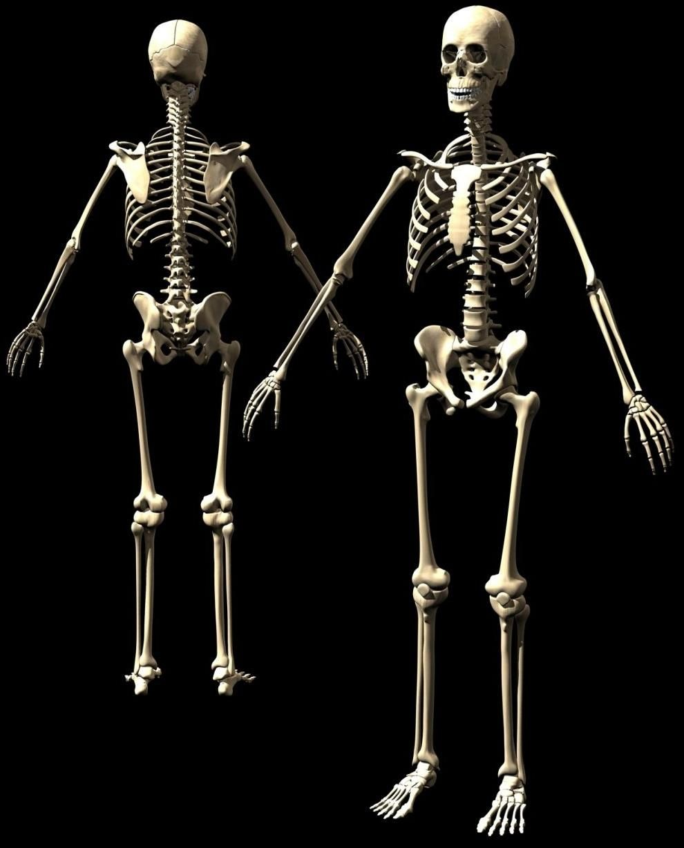 front and back skeleton. this seems obvious. | organs and, Skeleton