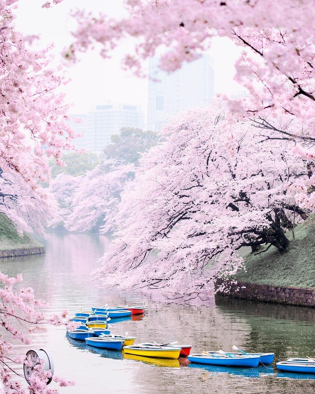 Cherry blossom dating asian men