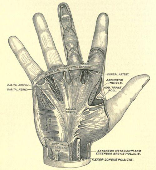 Palmar fascia, from Joseph D. Bryant\'s Operative Surgery, c. 1905 ...