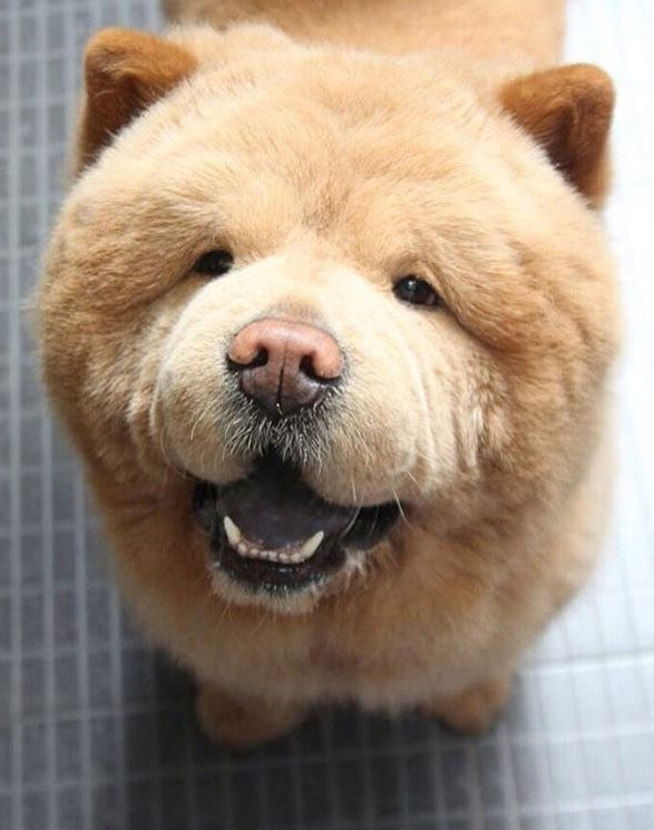 Chow Chow Bear Like Dog Many Want To Hug Cute Dogs Fluffy