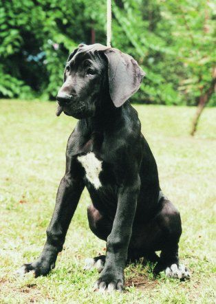 Black Great Dane Puppy Dane Puppies
