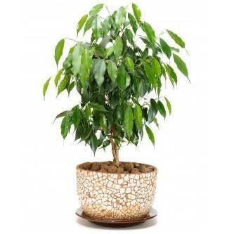 bonsai seeds  C 10 seeds of Ficus obliqua