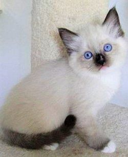 Siamese kittens for sale san diego
