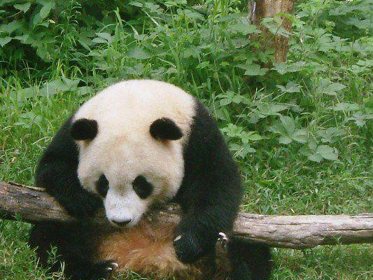 Panda in Chengdu nature reserve, China