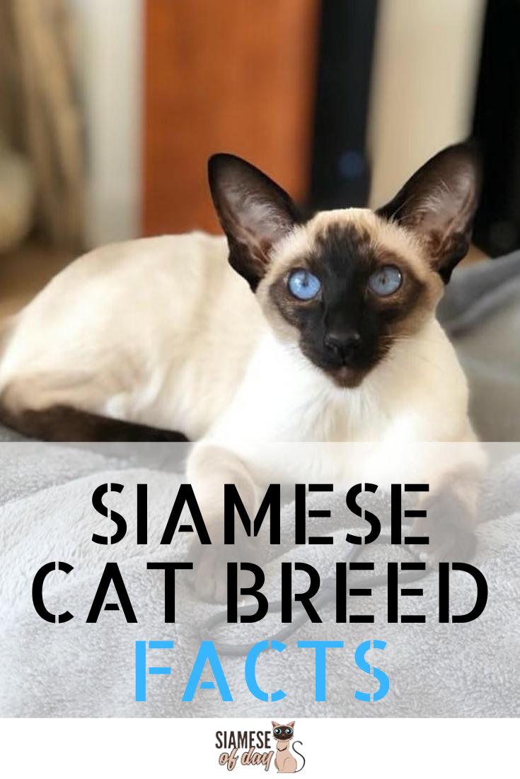 Siamese Cat Personality And Behavior Siamese Cats Cat Personalities Siamese Kittens