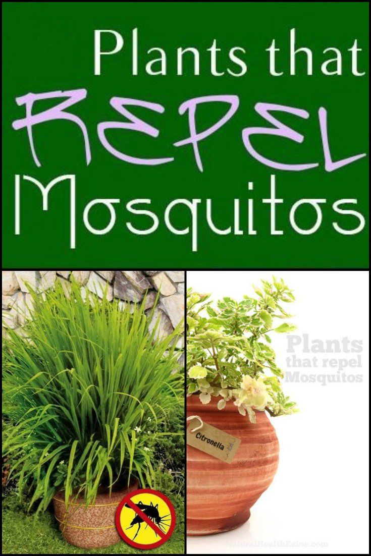 12 plants that repel mosquitoes naturally http for What plants naturally repel mosquitoes