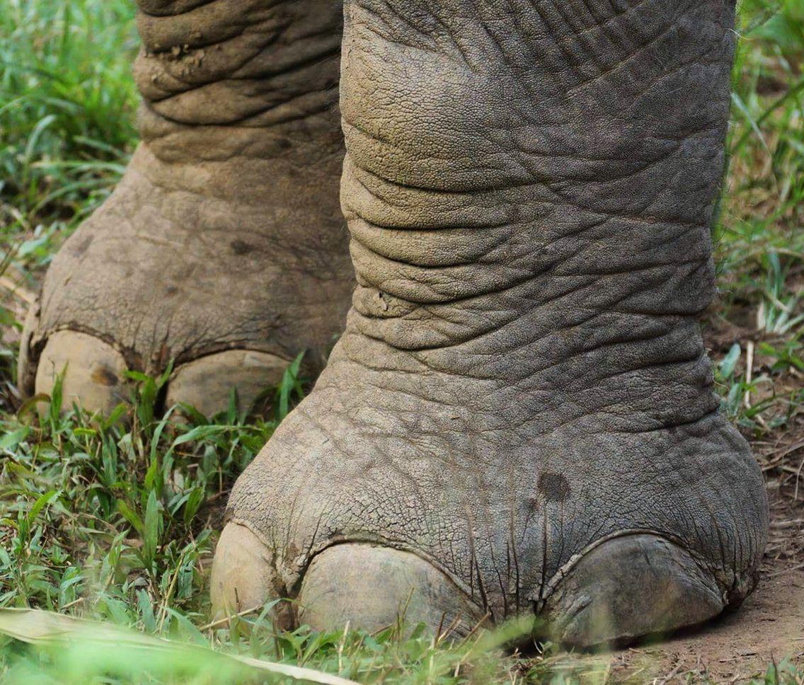 Analisis del detalle - Patas - Uñas- Elefante - Pliegues | Detalles ...