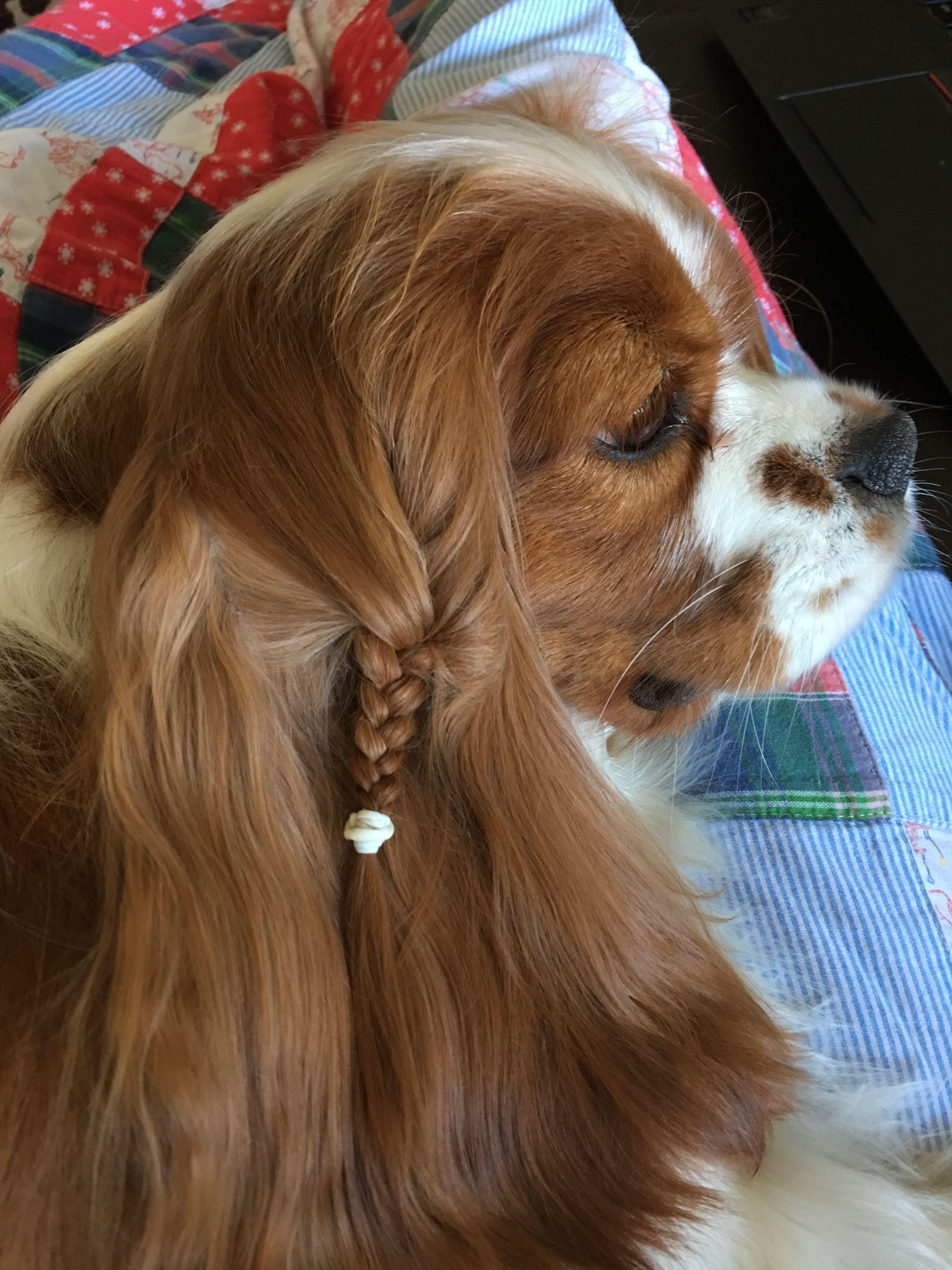 look at my beautiful ears Cavalier King Charles Spaniel 4054875b6b