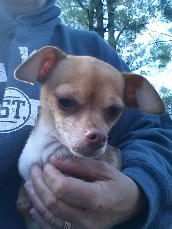Adopt Layla On Small Dog Adoption Chihuahua Puppies Chihuahua Love