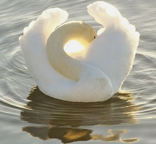 I love swans!  Everything about them defines  grace & beauty