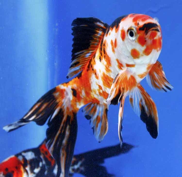 The only shubunkin that we have now are the imported for Shubunki fische